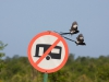 Magpie Shrikes